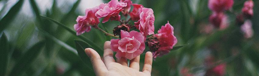 A hand holding pink flowers.