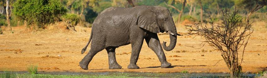 An elephant and a baby elephant walk through a jungle setting.
