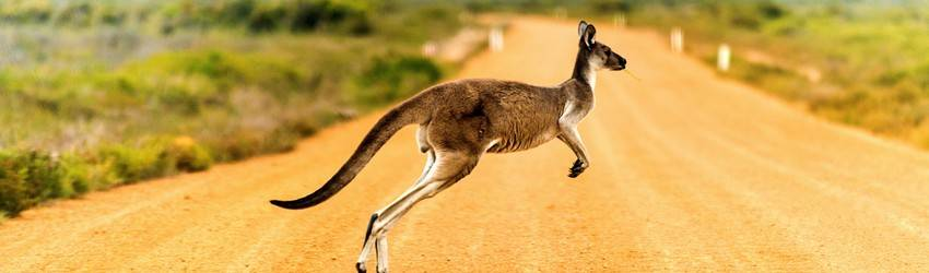 A kangaroo hops across a plain in a dream.
