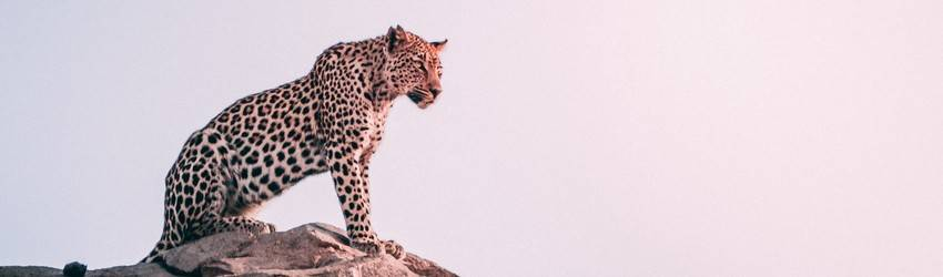 A leopard sits on a cliffside against a shining sun.