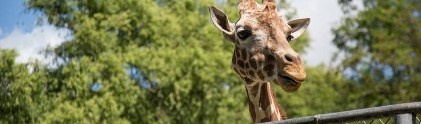 A giraffe looks over a fence at a zoo.